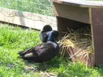 Ein Paar Zwerg Enten schwarz