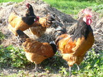 Vorwerk-Hühner