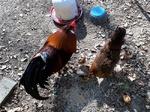 Hahn, Henne und Küken